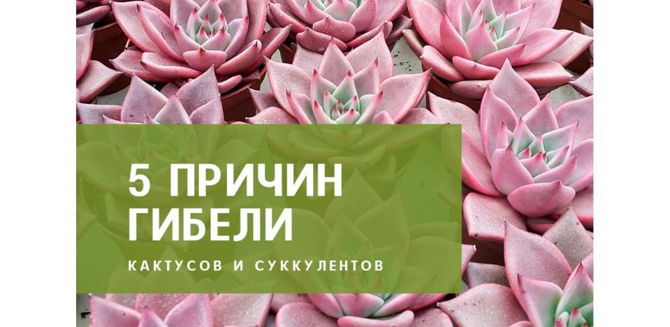 5 причин гибели кактусов и суккулентов